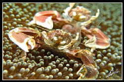 NO CROP! Porcelain Anemone Crabs &quot;Bokkeh&quot; 